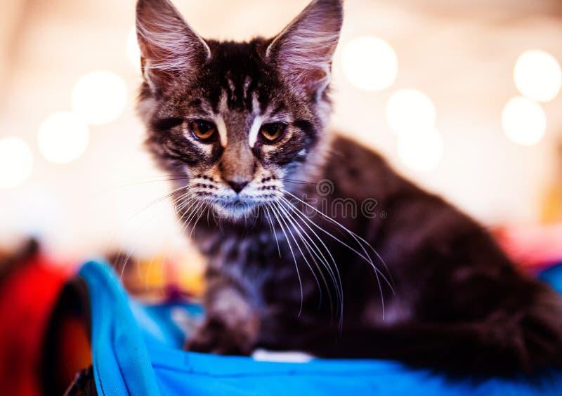 H?rligt f?rsilvra den Maine Coon katten royaltyfria bilder