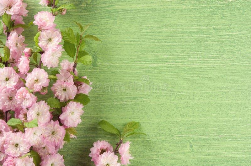 H?rligt fj?dra blom- bakgrund Rosa blomma för mandel på filial och sidor på grön trätabellbakgrund kopiera avst?nd royaltyfria foton