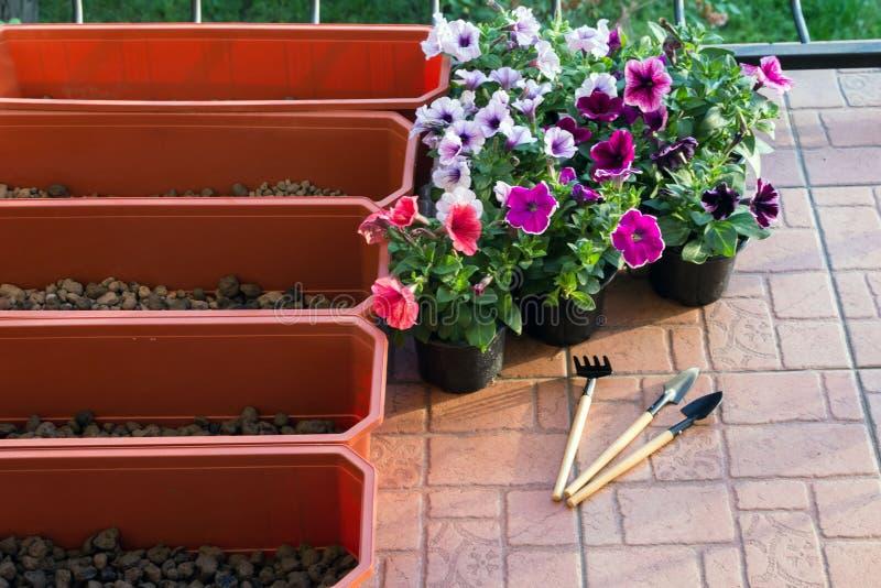 H?rligt purpurf?rgat, vit och petuniakoraller, blommaaskar p? balkongen p? en varm solig dag I askarna f?r att plantera ?r blommo arkivbild