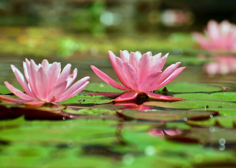 H?rligt rosa f?rgvatten lilly i ett damm royaltyfri foto