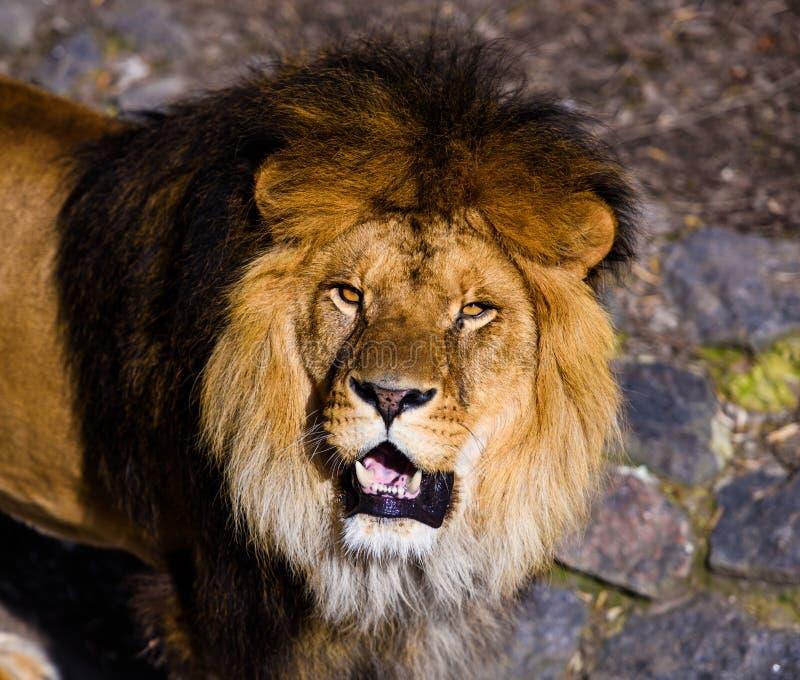 H?rligt v?ldigt lejon royaltyfria foton