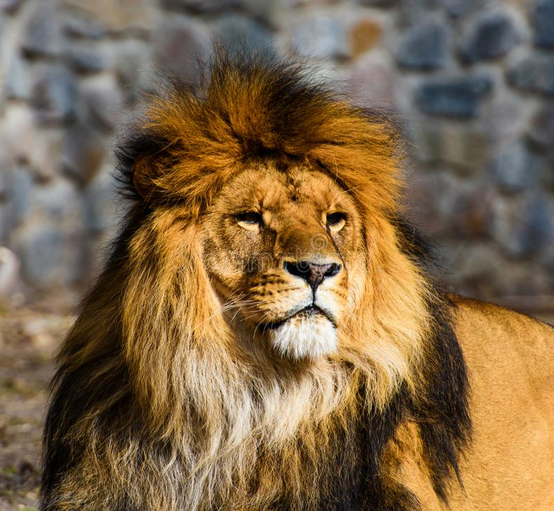 H?rligt v?ldigt lejon royaltyfria bilder