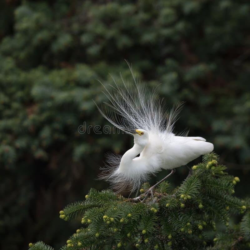 H?ron blanc grand dans le plumage d'?levage image libre de droits