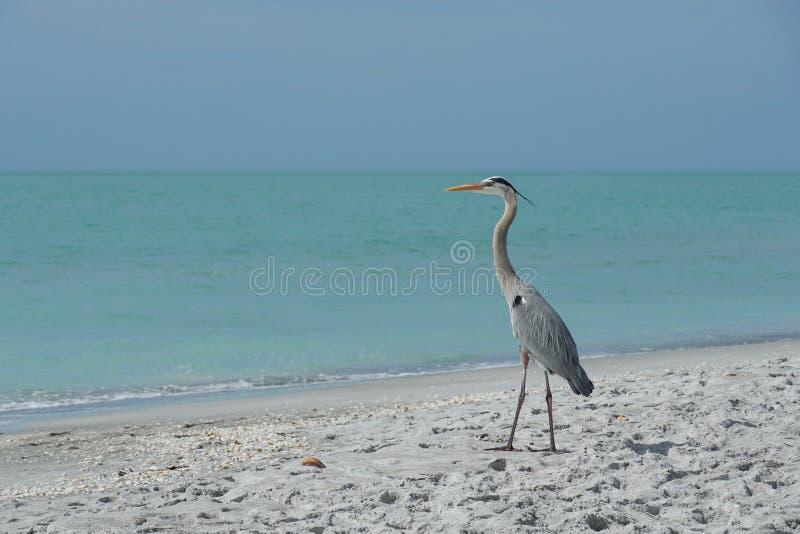 H?ron de grand bleu sur la plage photos stock