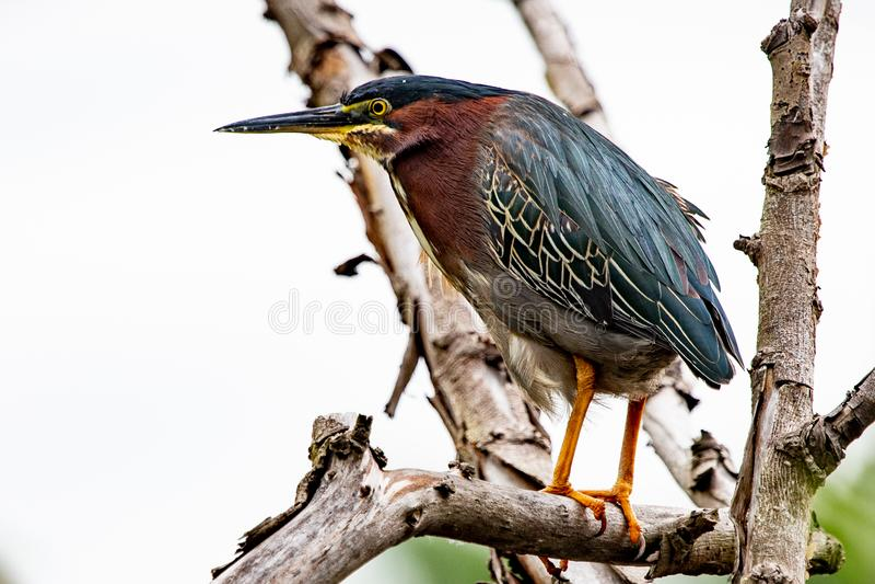 H?ron vert ?t? perch? sur une branche en parc de Malden chez Windsor, Canada d'Ontario photos stock