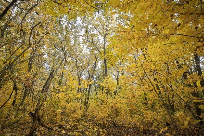 H?st Tr?d med gula sidor i skogen royaltyfria bilder