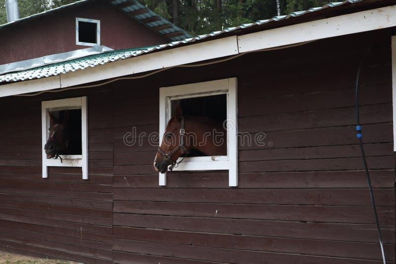 H?star med huvudet f?rutom stallet Huvud av h?sten som ser ?ver det stabila f?nstret bruna hästar på lantgårdblicken ut ur royaltyfri foto