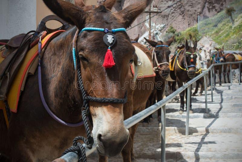 H?star och ?snor p? ?n av Santorini - den traditionella transporten f?r turister royaltyfria foton