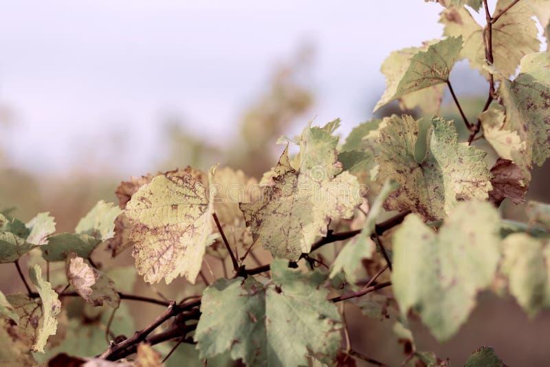H?stsidor av druvor Blå himmel och vinranka i nedgången Rhendalen, Tyskland slapp fokus tonad bild royaltyfri foto