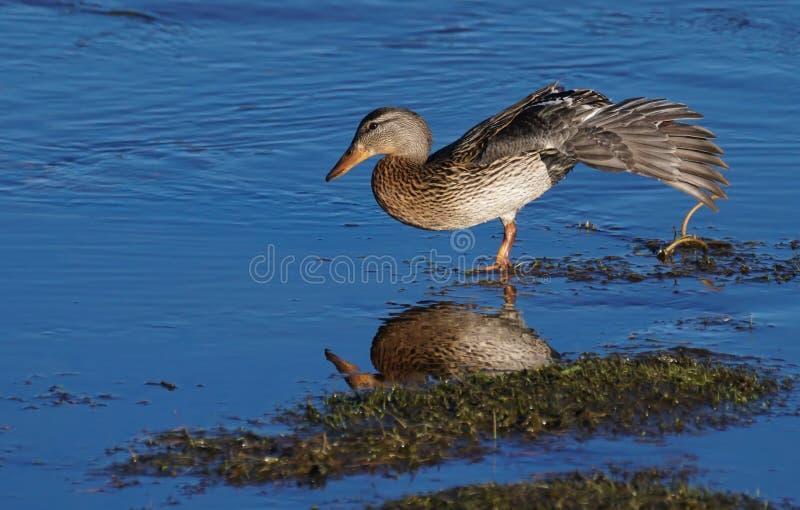 Ha en goda långa Duck Stretch royaltyfri fotografi