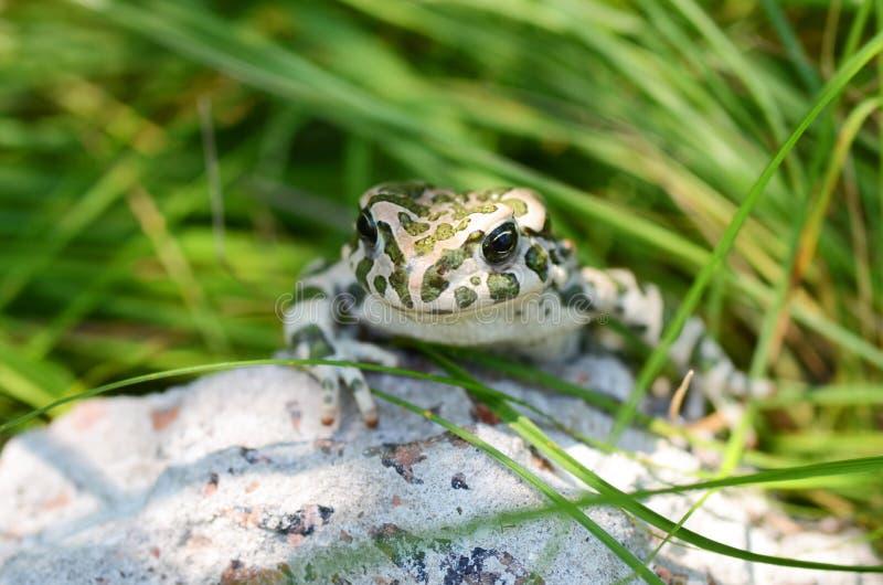 Ha macchiato un rospo di terra che si siede su una pietra, primo piano Bufo di Bufo Macro verde della foto di viridis di Bufo del immagini stock