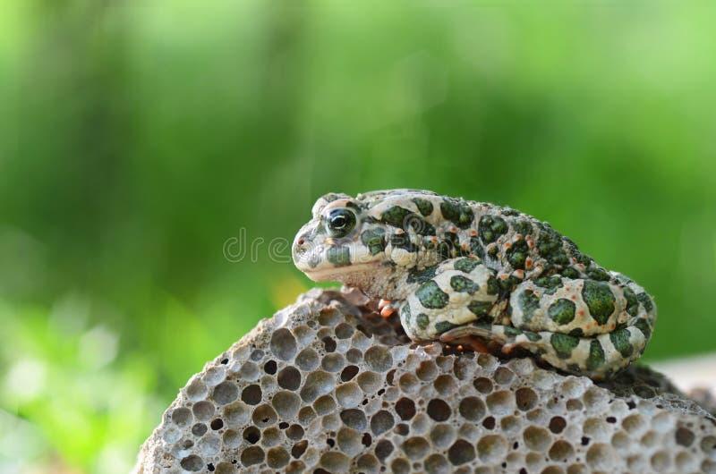 Ha macchiato un rospo di terra che si siede su una pietra, primo piano Bufo di Bufo Macro verde della foto di viridis di Bufo del immagine stock