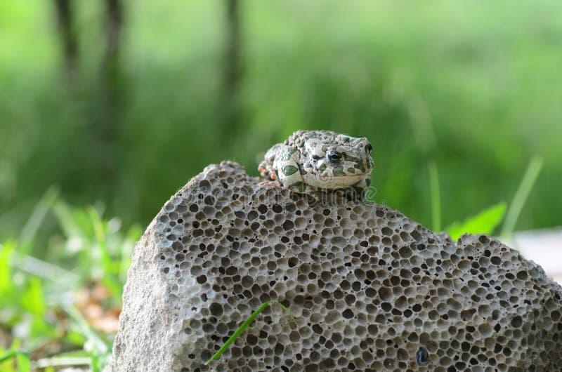 Ha macchiato un rospo di terra che si siede su una pietra, primo piano Bufo di Bufo Macro verde della foto di viridis di Bufo del fotografia stock