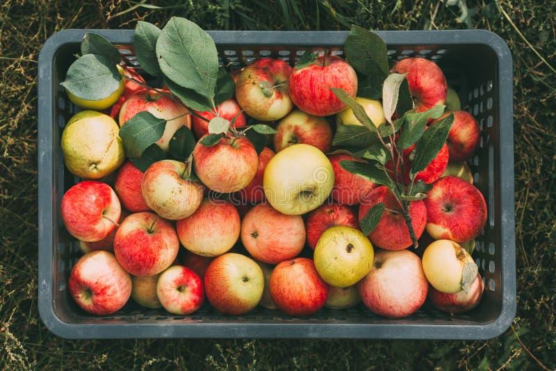 Ha selezionato di recente le mele organiche in una scatola fotografie stock