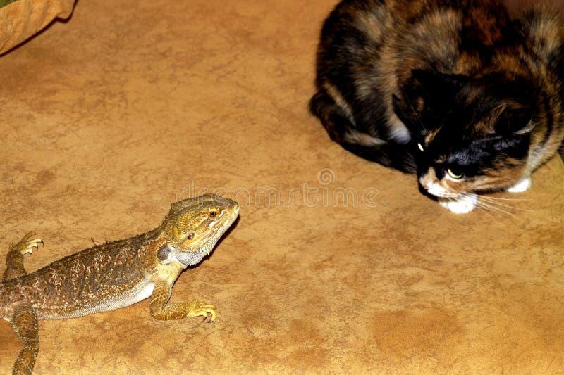 Ha sorpreso il gatto ed il piccolo agama barbuto fotografia stock