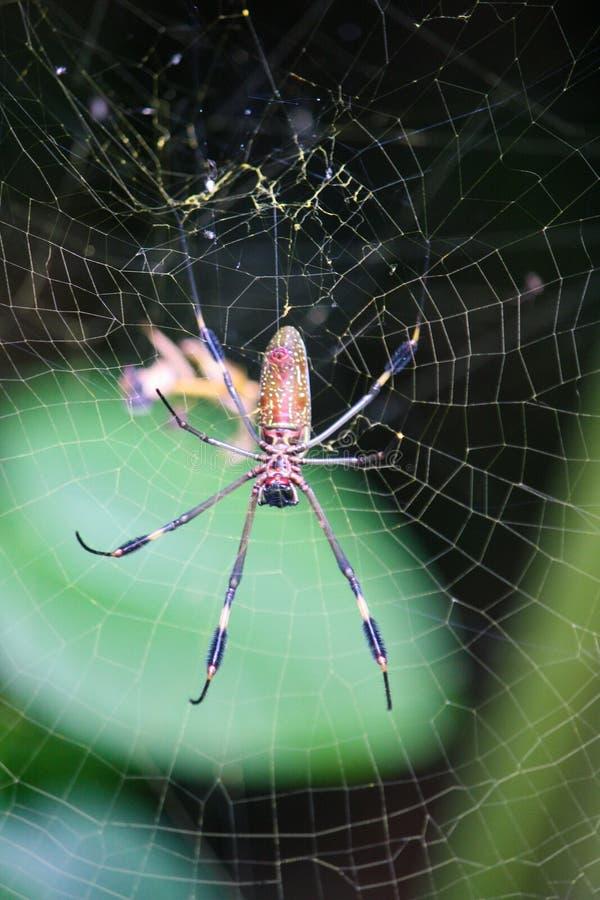 Ha sparato verticalmente il ragno dorato del globo che fila un web fotografia stock libera da diritti