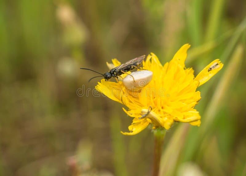Ha visto per volare e lumaca sul fiore giallo di asteraceae immagine stock libera da diritti