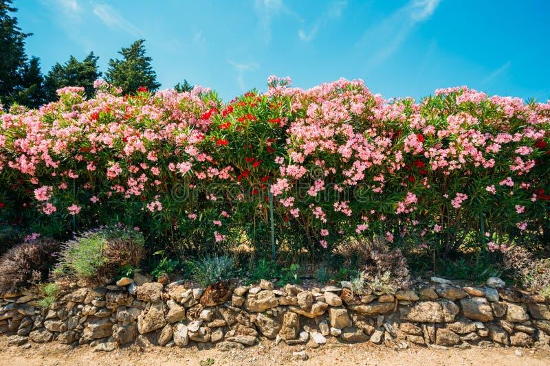 Haag van bloeiende struiken roze bloemen tuin stock for Bloemen behang praxis