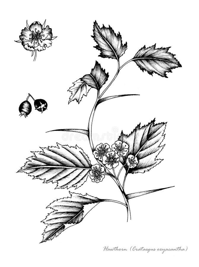 Haagdoorn royalty-vrije illustratie