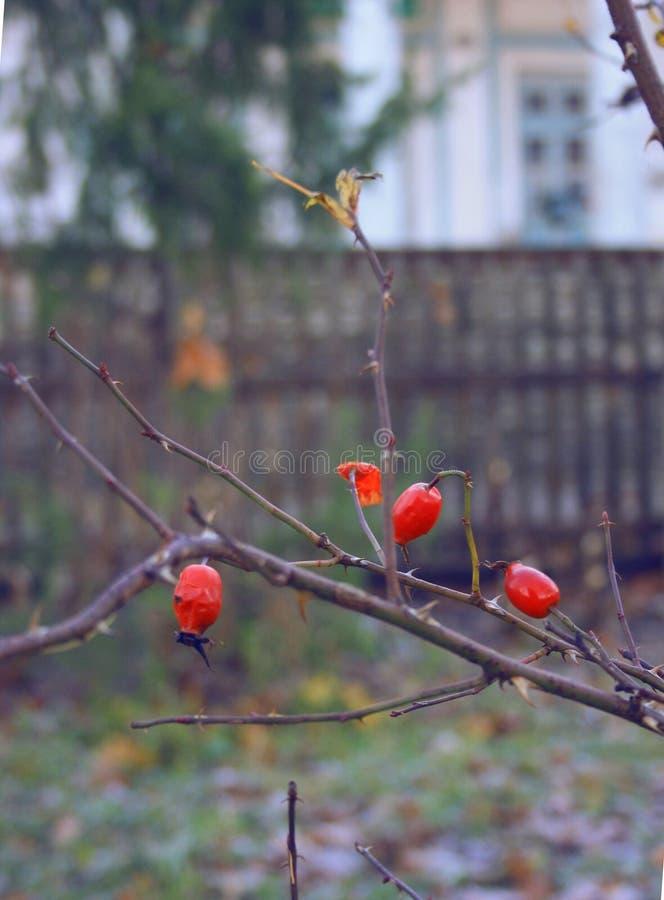 Haagdoorn in de herfst stock afbeeldingen
