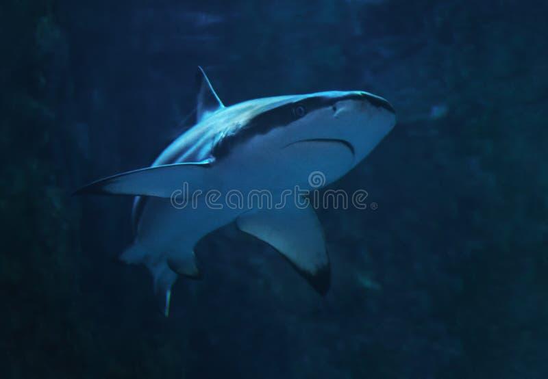 Haai bij het blauwe water dichte omhoog draaien aan linkerzijde royalty-vrije stock foto's