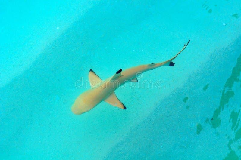 Haai in de Indische Oceaan stock foto