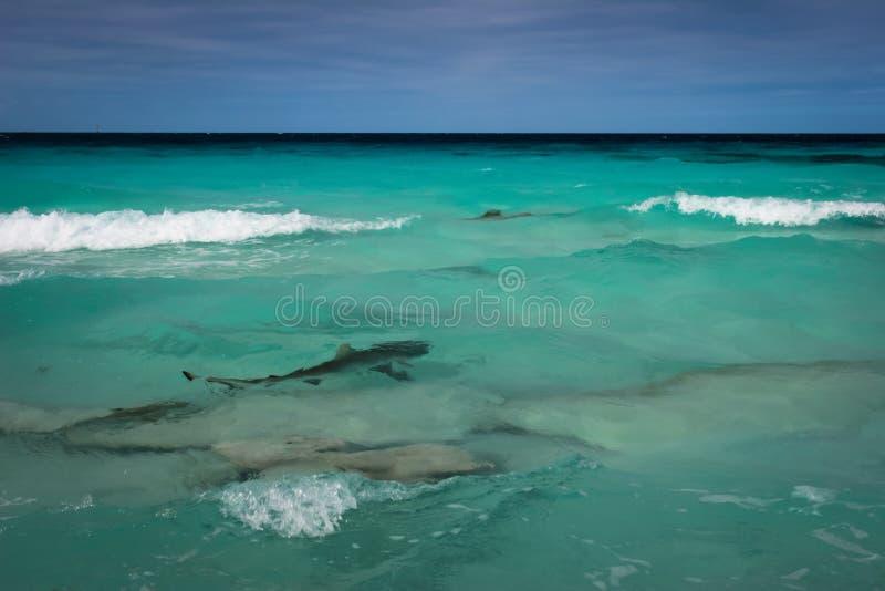 Haai in de lagune stock afbeelding