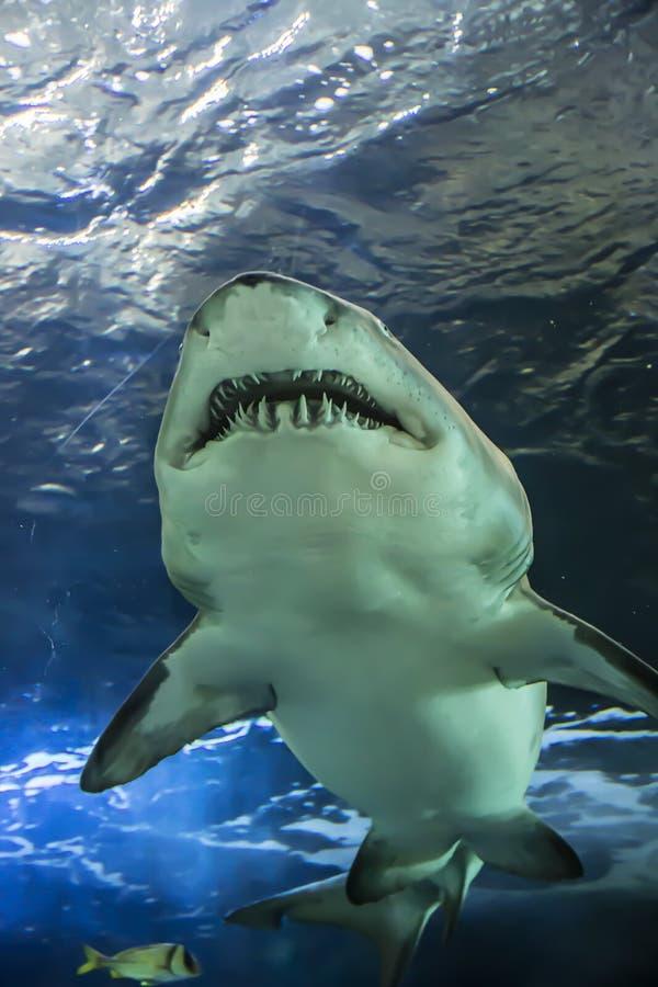 Haai die bij het Aquarium van Ripley in Toronto Ontario Canada zwemmen royalty-vrije stock fotografie