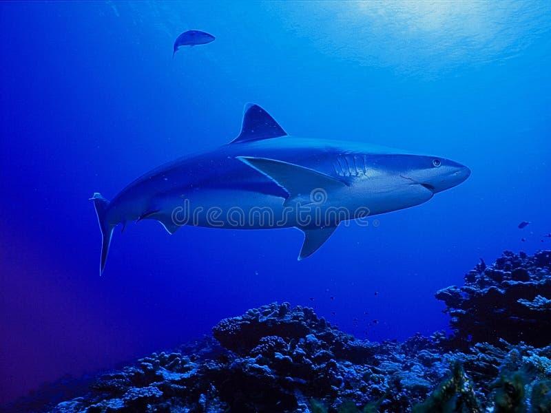Haai die in blauwe wateren zwemmen stock afbeelding