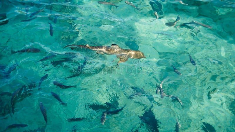 Haai in een school van ertsadervissen, turkooise duidelijke oceaan Het bedrijfsconcept uniek en opmerkelijk is van andere royalty-vrije stock foto's