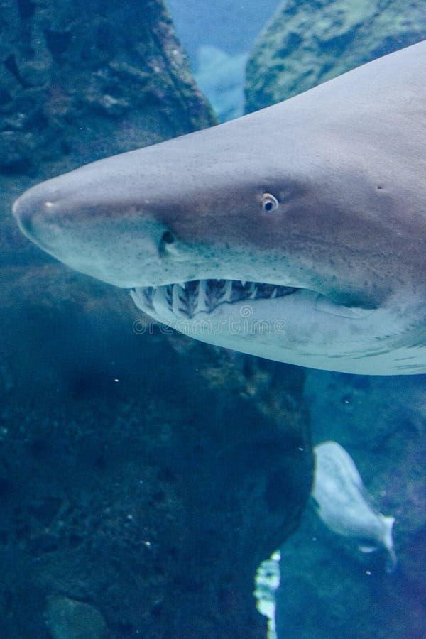 Haai in het blauwe water stock foto