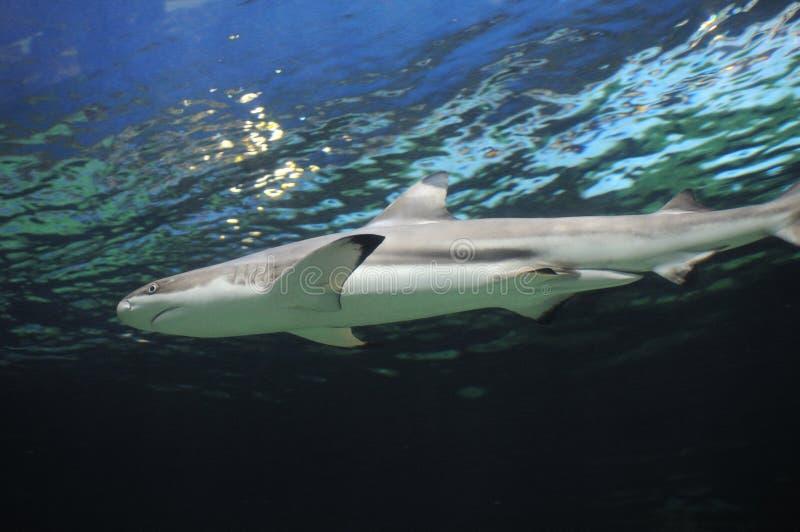 Haai onderwater stock foto