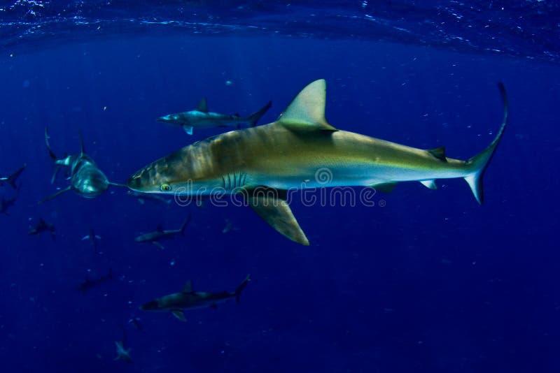 Haaien! stock foto's