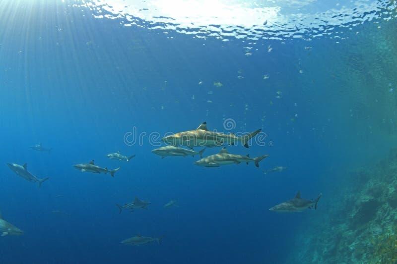 Haaien stock fotografie