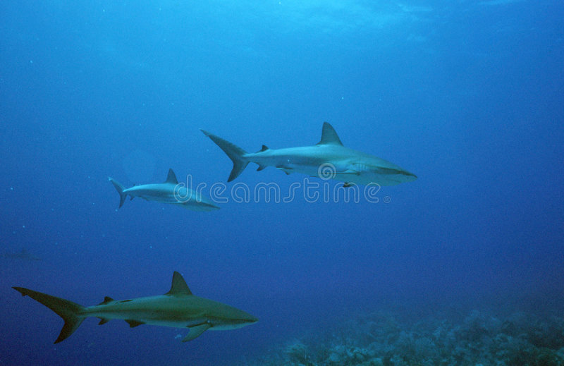 Haaien stock foto