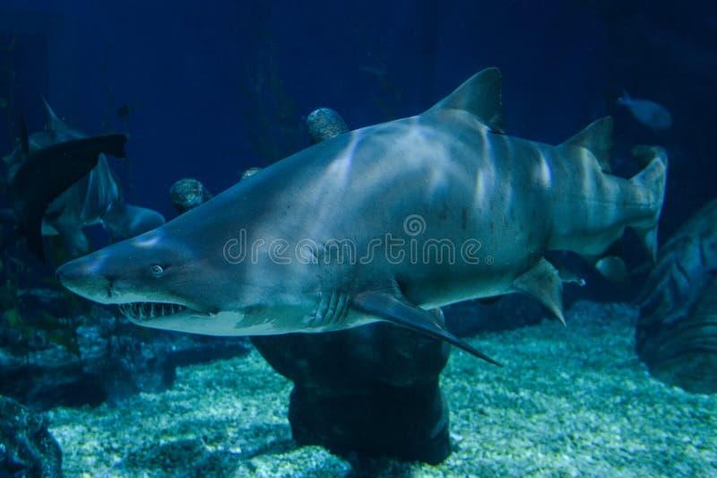 haaien royalty-vrije stock afbeelding