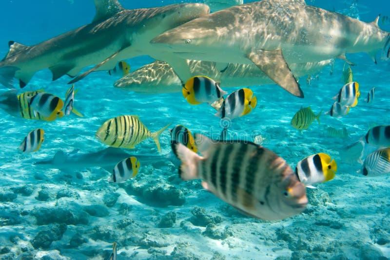 Haaien bij oceaan royalty-vrije stock afbeeldingen