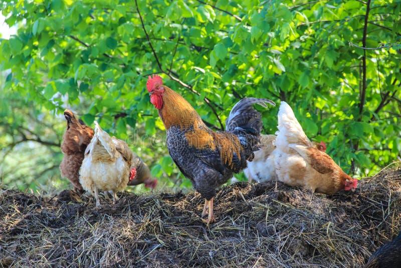 Haan en kippen stock foto's