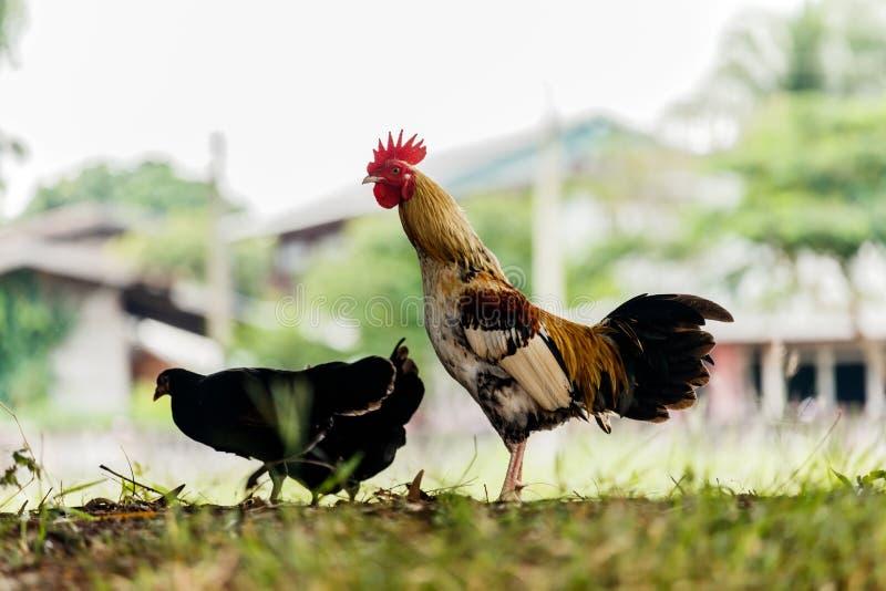 Haan of kip op het traditionele vrije landbouwbedrijf van het waaiergevogelte stock foto