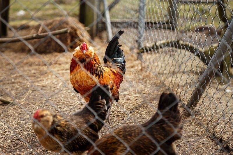 Haan met kippen royalty-vrije stock fotografie