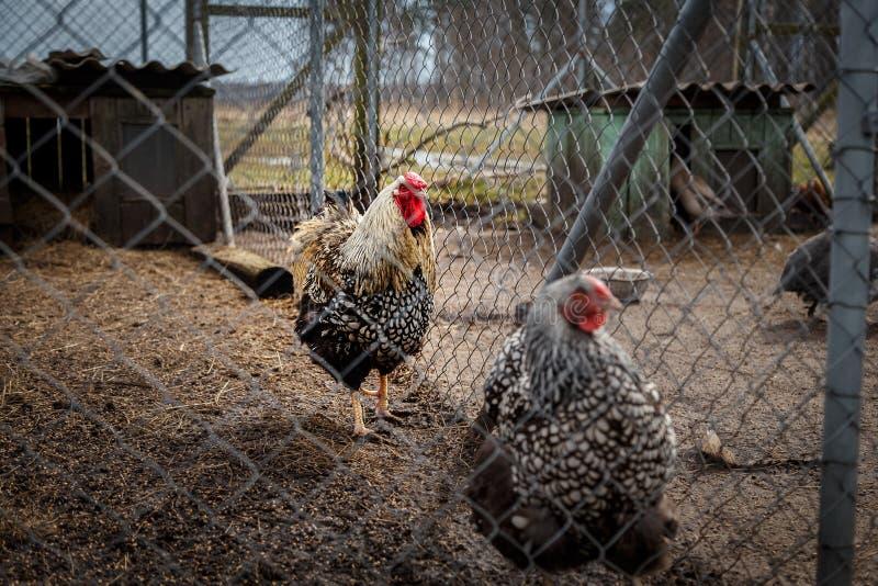 Haan met kippen stock fotografie