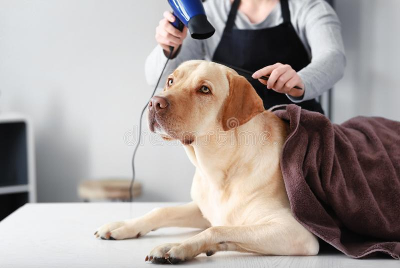 Haar van de vrouwelijke groomer het drogende hond na was in salon stock afbeelding