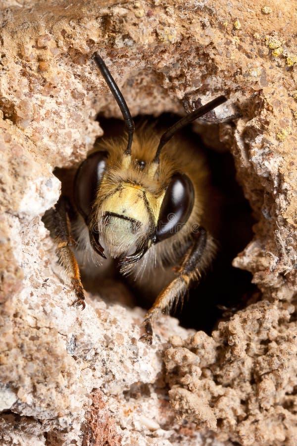 Haarig-Füßige Blumen-Biene lizenzfreie stockbilder