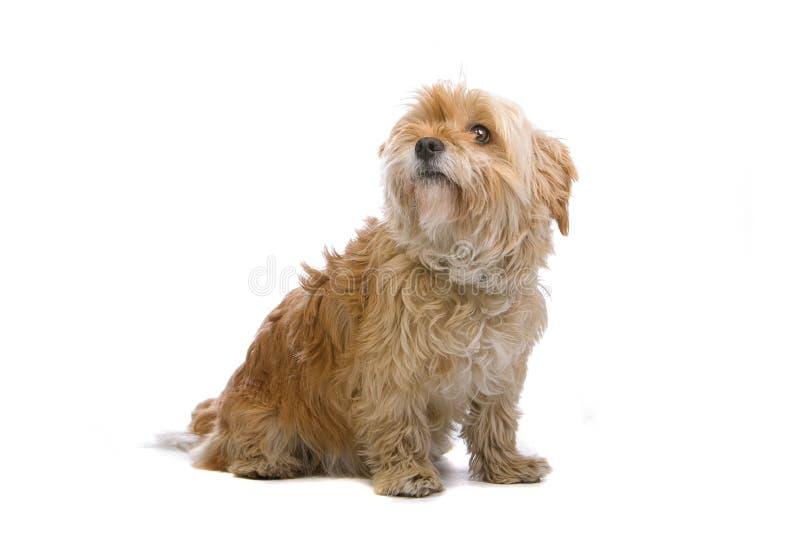 Haariger kleiner Hund lizenzfreie stockbilder