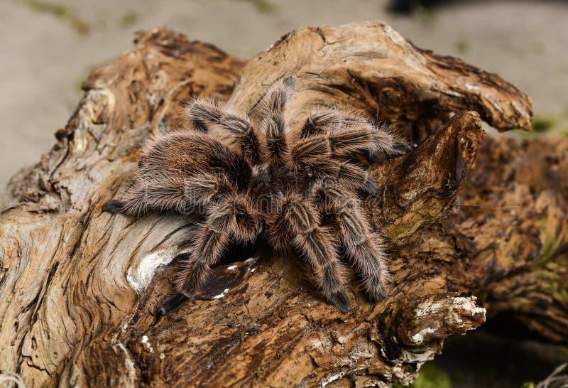 Haariger Tarantula stockbild