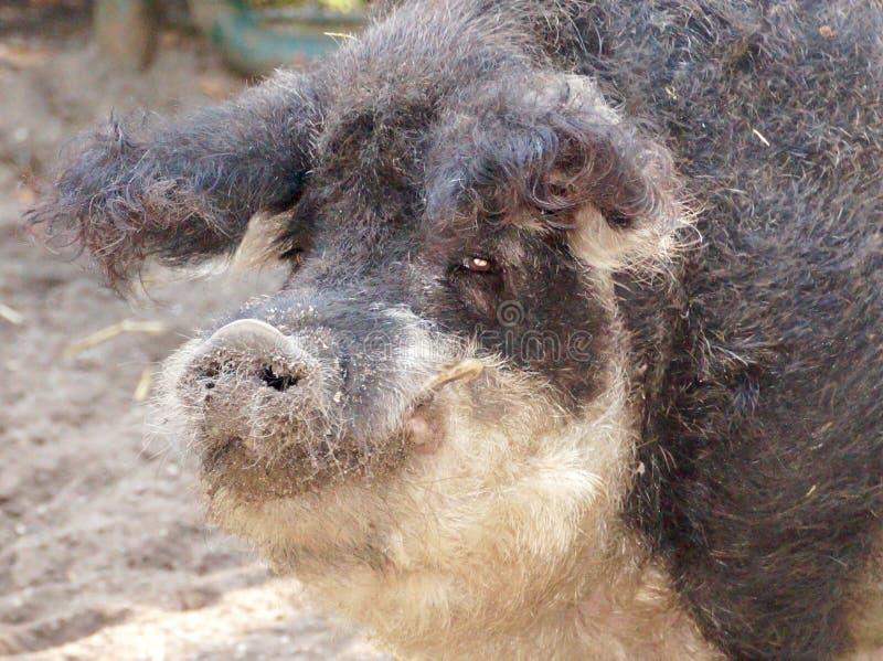 haariges Schwein in den wild lebenden Tieren stockbilder
