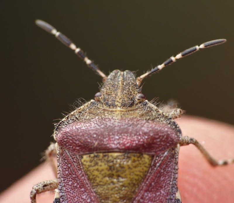 Haariges Shieldbug Großbritannien - Makro stockfoto