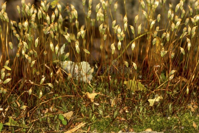 Haarkappen-Moos Sporophytes in Somers, Connecticut stockfotos