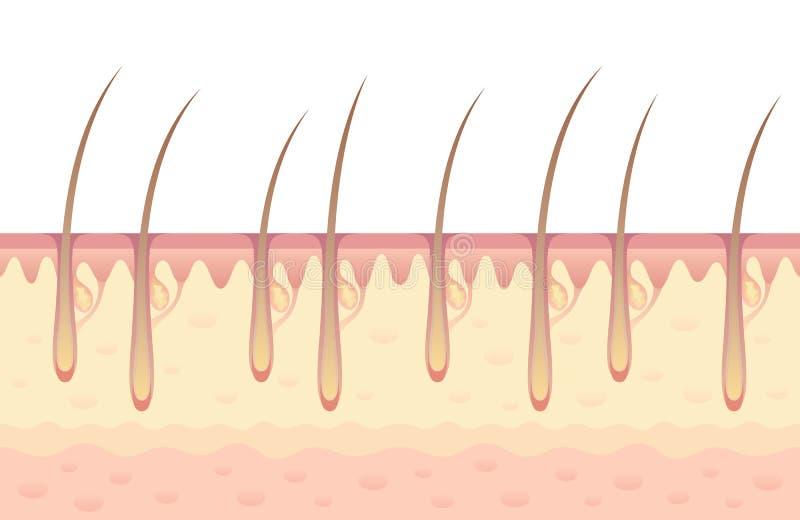 Haarwachstum vektor abbildung. Illustration von follikel - 57444969