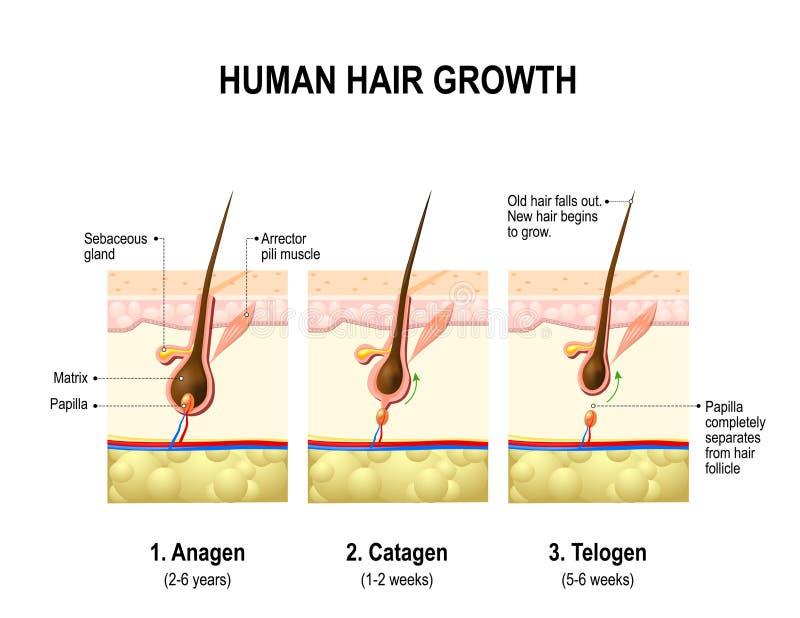 Haarwachstum Anagen, Catagen Und Telogen Vektor Abbildung ...